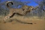 guepardos 7