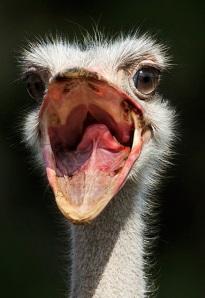 avestruz-aves-animaisfotos-1342