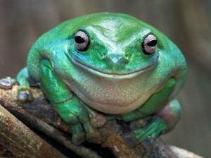 Dumpy Treefrog - Kakadu N.P. - Australia
